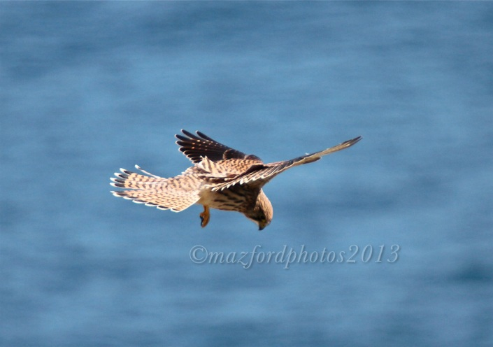 Hunting Kestrel at Godrevy Point in Cornwall