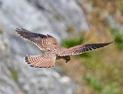 Kestrel Hunting at Godrevy Point in Cornwall