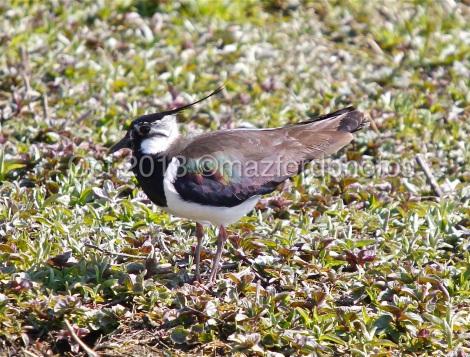 Watermarked Birds 6-9-1