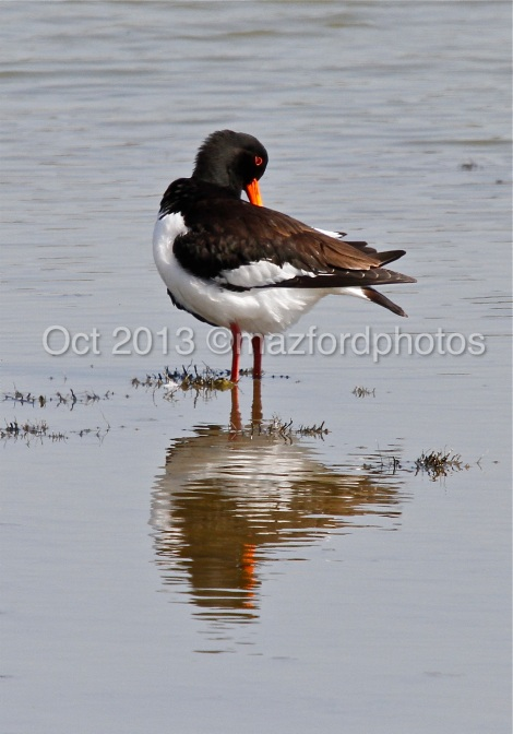 Oyster Catcher with reflection